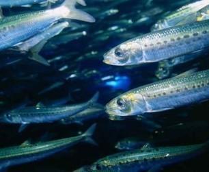 Mercure : combien de poisson par semaine ? | Toxique, soyons vigilant ! | Scoop.it