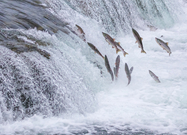 The Great Salmon Run Algorithm | Biomimicry | Scoop.it
