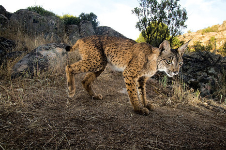 Iberian lynx beats extinction as cats are released to the wild | World Environment Nature News | Scoop.it