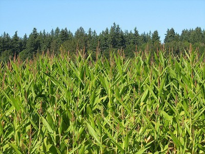 Organically Grown Corn Outperforms Non-Organic in Drought Conditions | The Barley Mow | Scoop.it