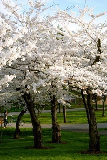 ArtofGardening.org: Buffalo's Japanese Garden cherry trees in bloom | Japanese Gardens | Scoop.it