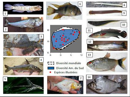 EDB/FRAIB - L'Amazonie héberge une diversité de formes de poissons unique au monde | Actualité des laboratoires du CNRS en Midi-Pyrénées | Scoop.it