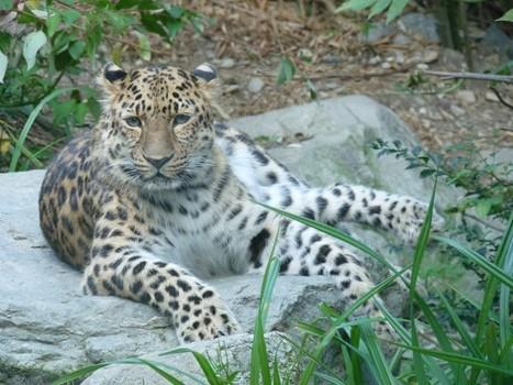 Photos de félins : Panthère de Chine - Panthère de l'Amour - Panthera pardus orientalis - Panthera pardus amurensis - Amur Leopard | Fauna Free Pics - Public Domain - Photos gratuites d'animaux | Scoop.it