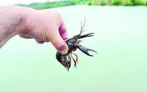 Aude : La loutre viendra-t-elle éradiquer les écrevisses invasives ? | EntomoNews | Scoop.it