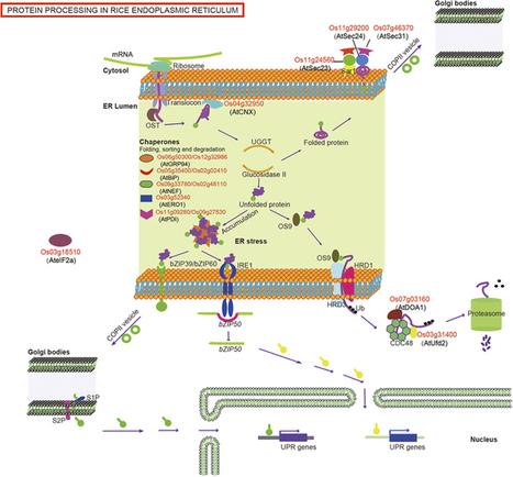 Proteomic analysis of endoplasmic reticulum stress responses in rice seeds | PlantBioInnovation | Scoop.it