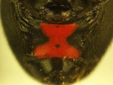 El código de color de las arañas viudas negras va dirigido a observadores muy específicos — Noticias de la Ciencia y la Tecnología (Amazings®  / NCYT®) | Bichos en Clase | Scoop.it
