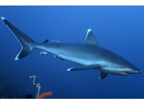 Les 12 (vraies ou fausses) causes de la prolifération de requins à la Réunion | Crise requins | Scoop.it
