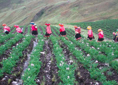 Improved potato varieties ensure Peruvian communities have enough to eat | Agricultural Biodiversity | Scoop.it