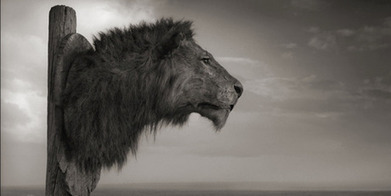 Canned Lion Hunting - South Africa's dirty little secret - Element magazine - NZ Herald News | SARMOTI | Scoop.it