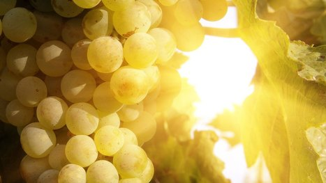 #Australia is so hot even the grapes wear sunscreen #climate | Messenger for mother Earth | Scoop.it