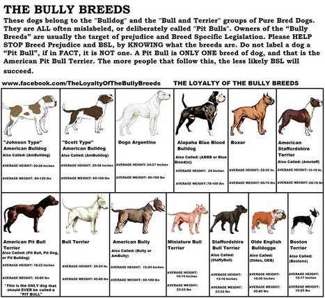 What is a Bully Breed? | Dog Pictures - Pindoggy | Scoop.it