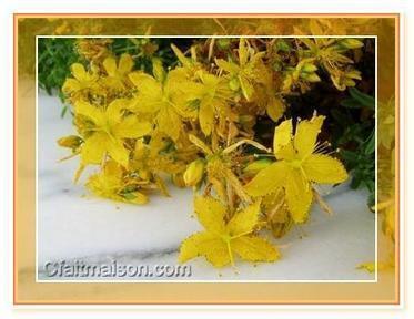 Fabriquer une huile de millepertuis, un macérât, se soigner avec le millepertuis | Science et Santé Naturelle | Scoop.it