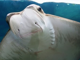 Sharks and rays in big trouble: 1 in 4 cartilaginous fish is facing extinction in near future | Nature conservation | Scoop.it