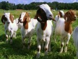 Airport Hires Goats for Vegetation Management · Environmental Management & Energy News · Environmental Leader | FOOD TECHNOLOGY  NEWS | Scoop.it