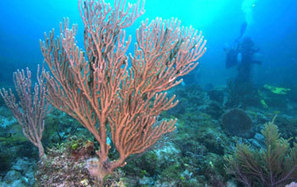 Natural Underwater Springs Show How Coral Reefs Respond to Ocean Acidification | Environment | Scoop.it