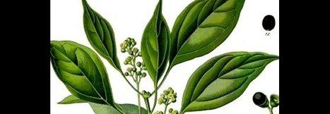 Energie équilibre - L'huile essentielle de ravintsara | Huiles essentielles HE | Scoop.it