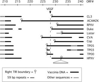 Genomic analysis of vaccinia virus strain TianTan provides new insights into the evolution and evolutionary relationships between Orthopoxviruses | Virology and Bioinformatics from Virology.ca | Scoop.it