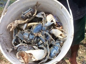 A BELIZEAN TRADITION: CATCHING BLUE CRABS | Belize You Inspire Me | Scoop.it