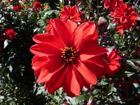Photos de Dahlias horticoles divers | Faaxaal Forum Photos gratuite Faune et Flore | Scoop.it