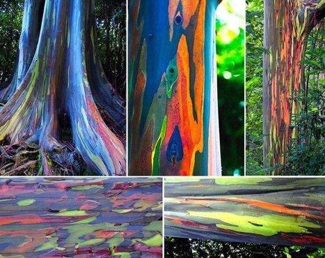 Eucalipto Arcoíris: El árbol más colorido del mundo | La Bioguia - Facebook | Agua | Scoop.it