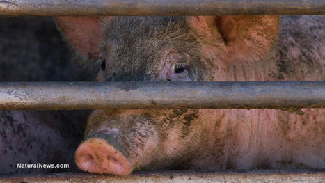 Plastics chemicals cause infertility and health problems in pigs; similar effects seen in humans | naturopathy for fertility | Scoop.it