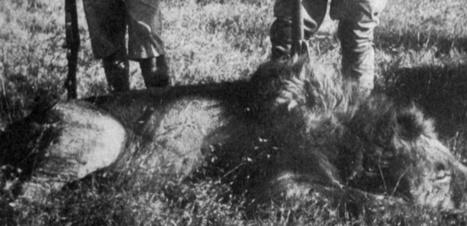Chasse au lion en Afrique : un mal pour un bien ? | Biodiversité | Scoop.it