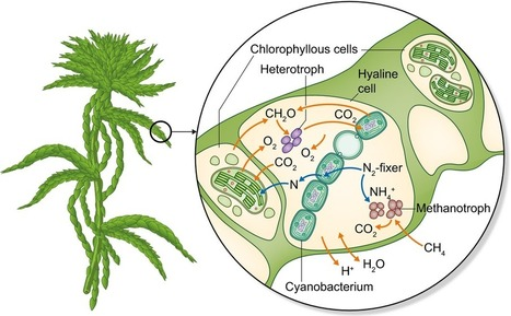 New Phytologist: The Sphagnum microbiome: new insights from an ancient plant lineage | MycorWeb Plant-Microbe Interactions | Scoop.it
