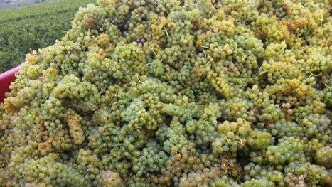 Nièvre : comment le vignoble de Pouilly fait-il face à une très faible récolte ? | Le vin quotidien | Scoop.it