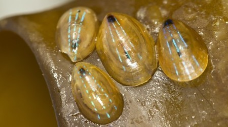 Limpet's Shell Could Inspire Next-gen Transparent Displays | Biomimicry | Scoop.it