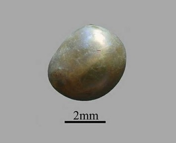 7,500-year-old pearl found in Neolithic grave | A Blog About History - History News | Antiques & Vintage Collectibles | Scoop.it