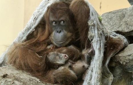 Lorraine: Naissance exceptionnelle d'un bébé orang-outan au zoo d'Amnéville | Biodiversité | Scoop.it