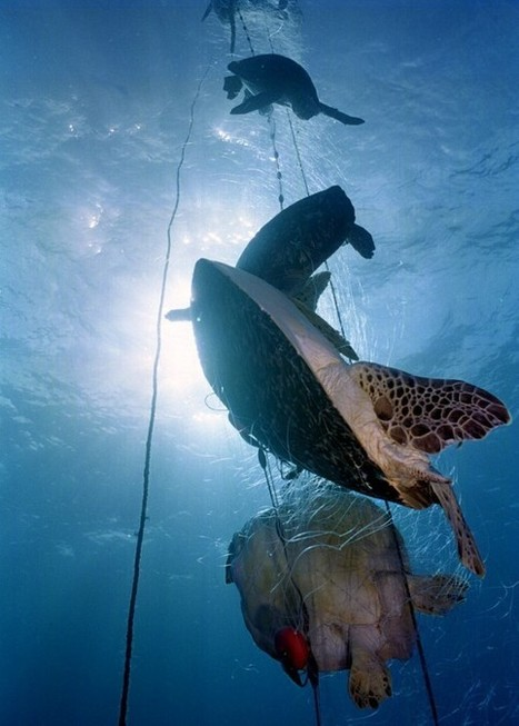 Marine Turtles:  MILLIONS killed by Gillnets, LongLine Super Trawler fisheries | OUR OCEANS NEED US | Scoop.it