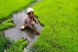 FAO prevé menor producción mundial de arroz en 2012 | Río+20 El Salvador | Scoop.it