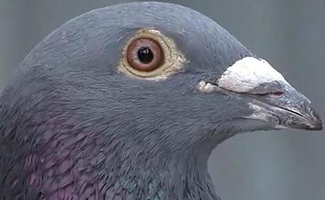 Pluie de pigeons morts à Bar-le-Duc | Les Informations sur la voie de notre monde. | Scoop.it