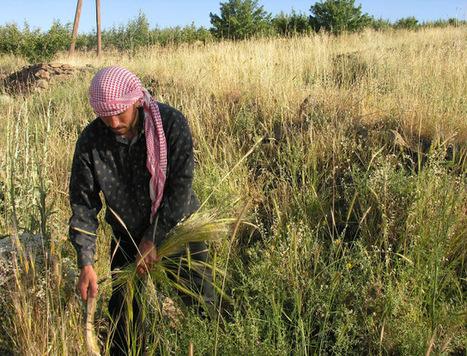 Los sirios del Neolítico fueron los primeros en domesticar los cereales | ECO-DIARIO-ALTERNATIVO | Scoop.it