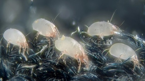 Researchers: House dust mites evolving in reverse | The Raw Story | Science and Nature | Scoop.it