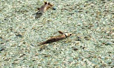 China finds 100,000kg of poisoned dead fish in river | A2 G3 Coasts, China and Fieldwork | Scoop.it
