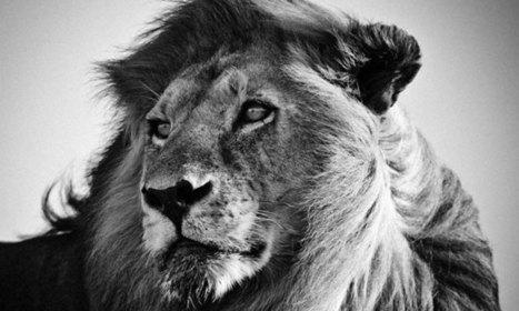 Découvrez les animaux sauvages d'Afrique comme vous ne les avez jamais vus avec les clichés exceptionnels de Laurent | nikon DF | Scoop.it