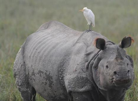 Asian rhino conference hailed as major step forward | Wildlife Trafficking: Who Does it? Allows it? | Scoop.it