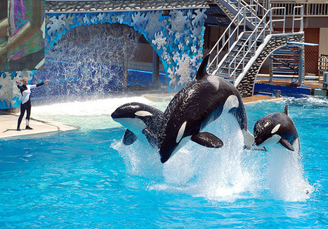 California Bill Would End #Seaworld Shamu Shows, Protect Orcas.   #OrcaAvengers   Scoop.it