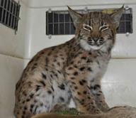 3 lynx orphelins à Chapelle des Bois   Centre Athénas   Chronique d'un pays où il ne se passe rien... ou presque !   Scoop.it