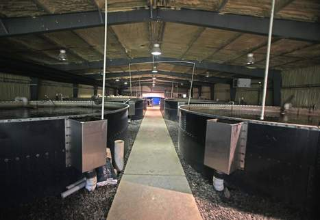 USA - Bank still feeding sixty thousand fish at bankrupt New Windsor aquaponic company | Aquaponics in Action | Scoop.it