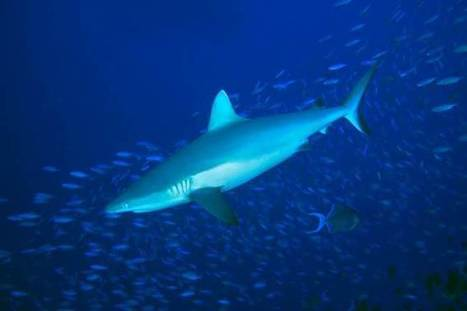 Killing sharks is killing coral reefs too - The Conversation | preservemarinelife | Scoop.it