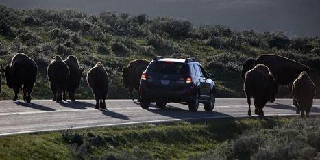 Non, les bisons de Yellowstone ne fuient pas une super éruption volcanique | Mes passions natures | Scoop.it