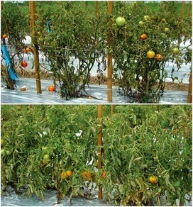 PLOS ONE: Transgenic Resistance Confers Effective Field Level Control of Bacterial Spot Disease in Tomato | Plant Breeding and Genomics News | Scoop.it