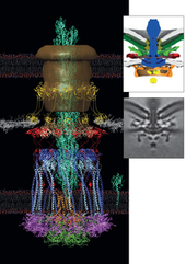 Structures for flagellar motors and the type IVa pilus machine | Virology and Bioinformatics from Virology.ca | Scoop.it