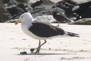Are  #Gulls killing #whales in Patagonia? | Rescue our Ocean's & it's species from Man's Pollution! | Scoop.it