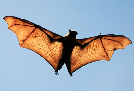 How Bats Catch Prey That's Sitting Still   Biomimicry   Scoop.it