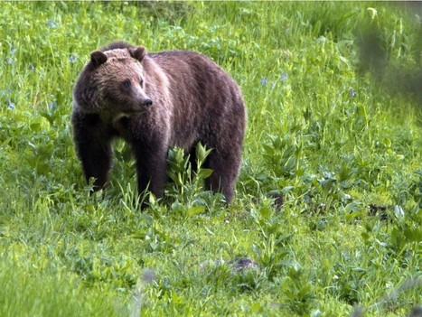 B.C. will require grizzly hunters to remove meat, predicts wildlife federation | Trophy Hunting: It's Impact on Wildlife and People | Scoop.it