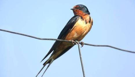 Researchers seek to solve puzzle of swallow decline | Sustain Our Earth | Scoop.it